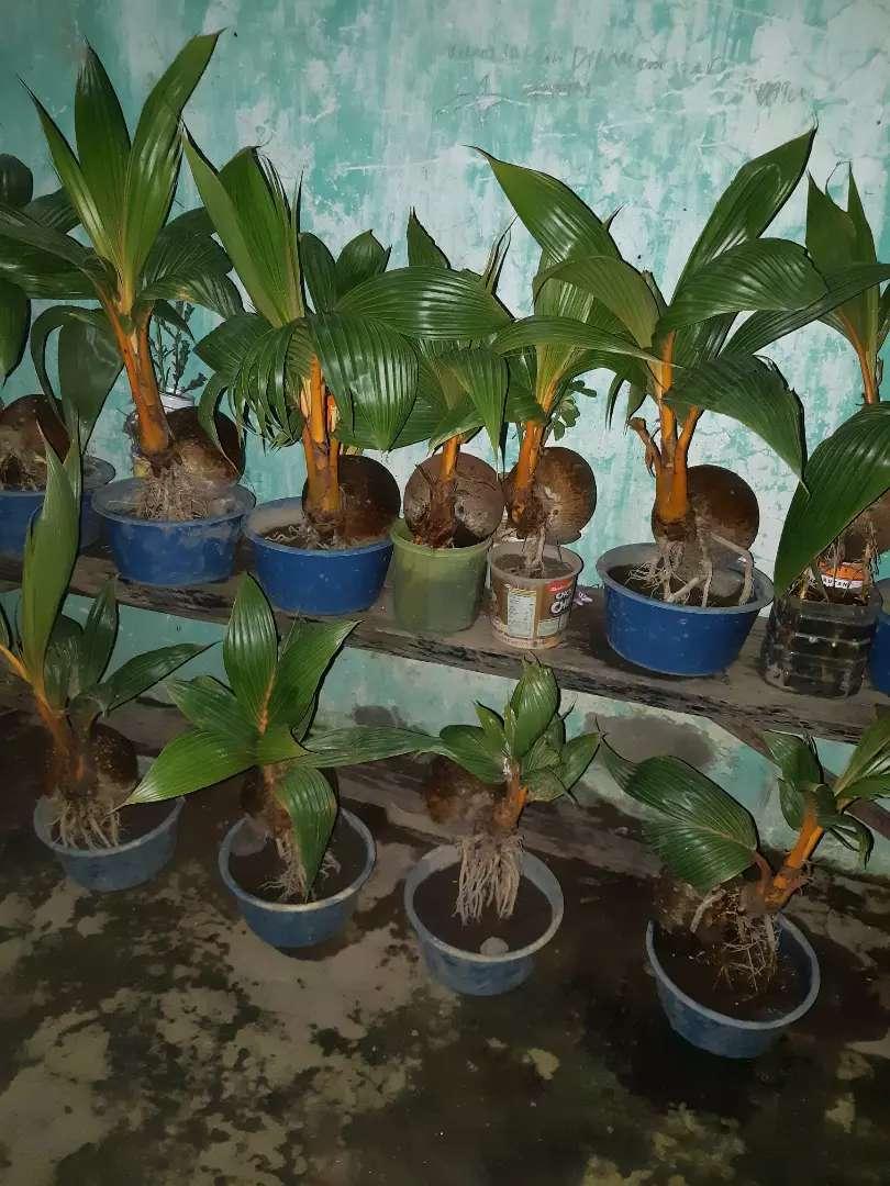 Bonsai Kelapa Gading Handicrafts 782958551