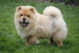 chow chow imported