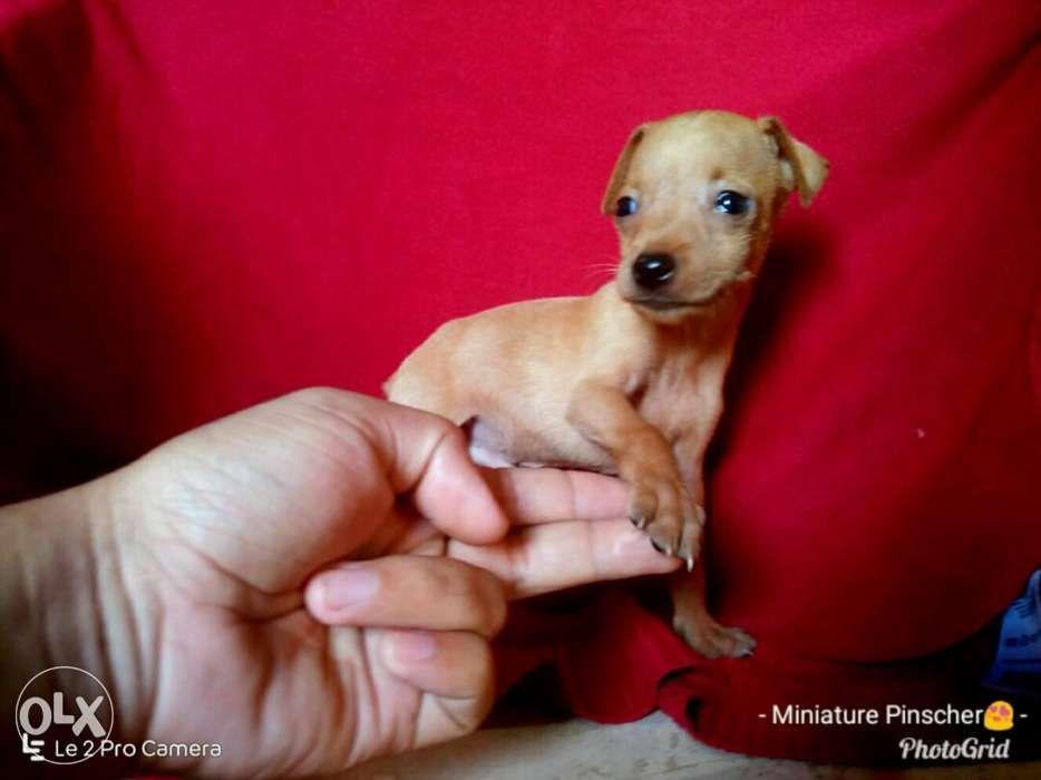 Rush Sale Pure Breed Mini Pinscher Puppies In Cagayan De Oro City