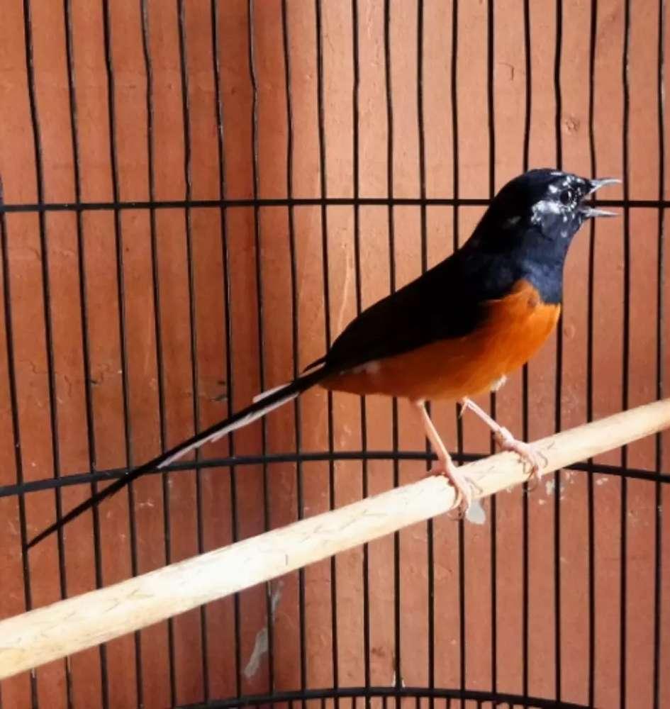 Murai Batu Medan Jual Hewan Peliharaan Burung Terlengkap Di Indonesia Olx Co Id