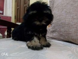 Shih Tzu Black View All Ads Available In The Philippines Olxph