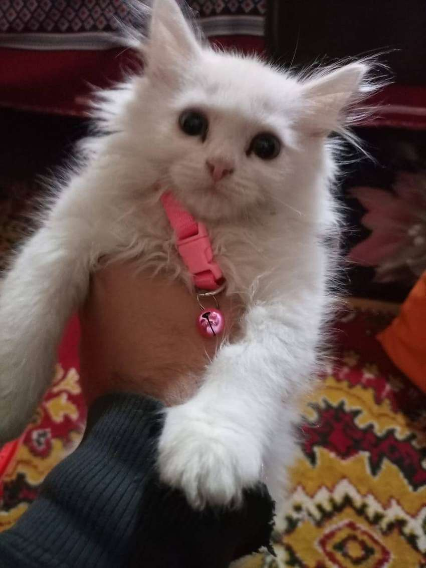 Persian Kitten For Sale Cats 1025793360
