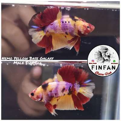 Ikan Cupang Hias Nemo Yellow Base Galaxy Male Hewan Peliharaan 809400375