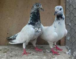 Sailkoti bredr pair for sale