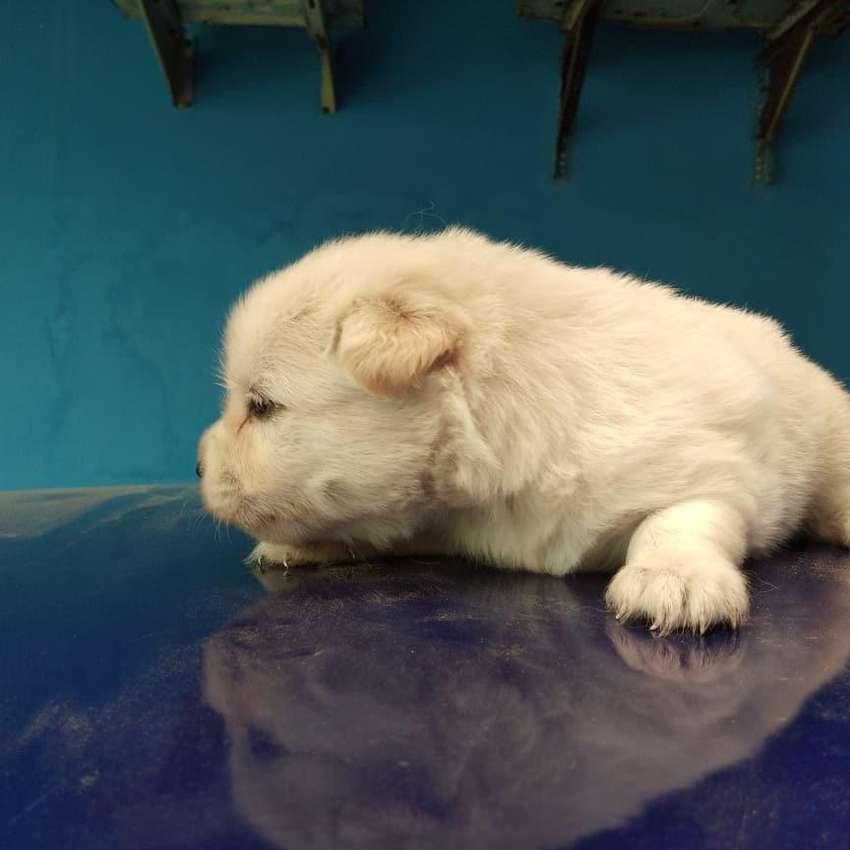 Anak Anjing Maltese X Pom Hewan Peliharaan 809673967