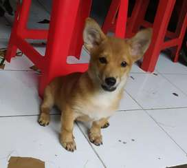 Dijual Anjing Jual Hewan Peliharaan Anjing Terlengkap Di Bali Olx Co Id