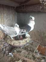 Satinette breeder pair and chick