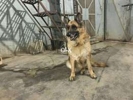 Non pedigree gsd female for sale