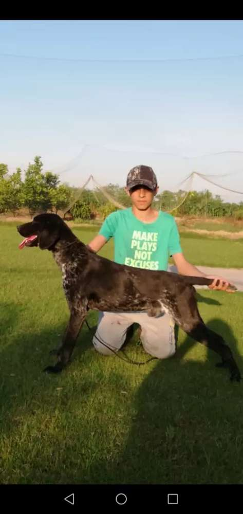 Pointer Dogs For Sale In Pakistan Olx Com Pk