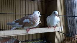 Doves pair For Sell