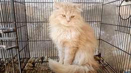 Pure persian quality male available.