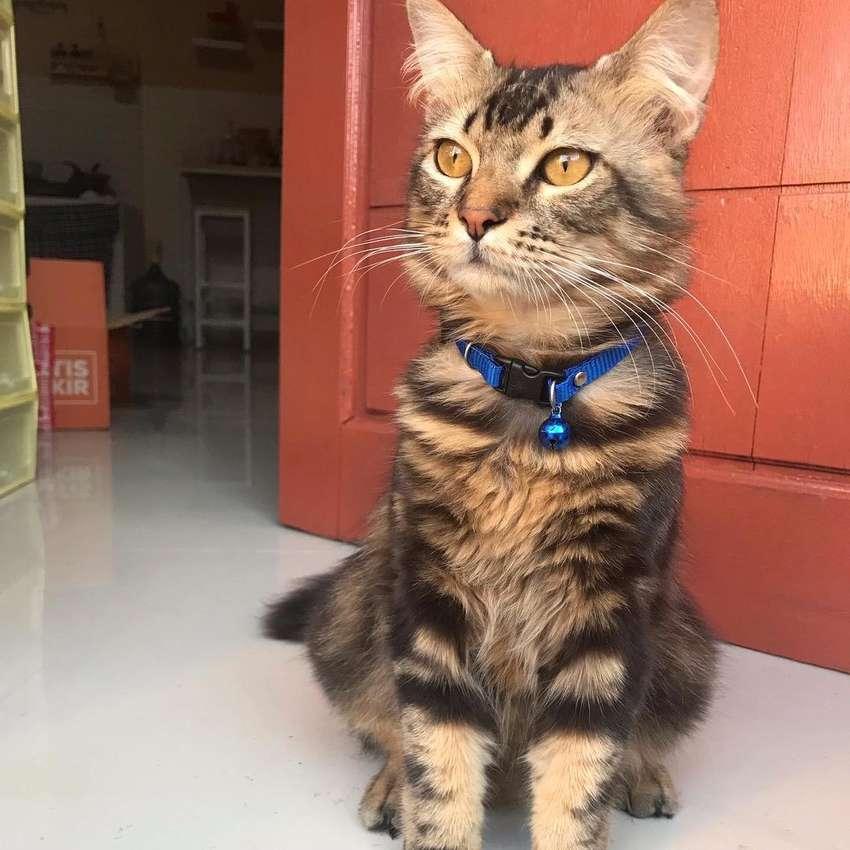 Kucing Ras Maincoon Mix Angora Birahi Siap Kawin Jasa 800586087