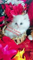 Beautiful eyes. Pure Persian Punch Face halthy kitten