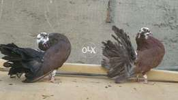 Pigeons lakka fancy fantail available cargo