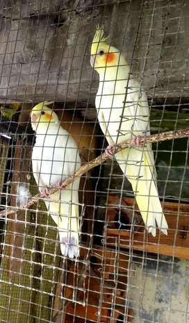 Burung Di Cikancung Olx Murah Dengan Harga Terbaik Olx Co Id