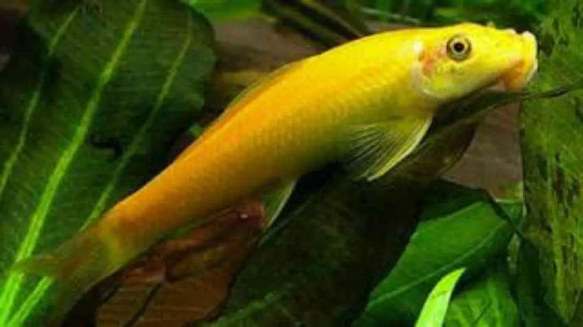 3 Jenis Ikan Memakan Sampah dasar di Aquarium