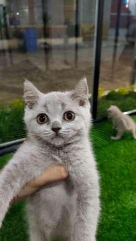 British Short Hair Jual Hewan Peliharaan Kucing Terlengkap Di Indonesia Olx Co Id