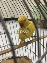 Yellow ring neck for sale 3 month