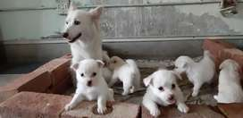 Russian Puppies In Pakistan Free Classifieds In Pakistan Olx Com Pk
