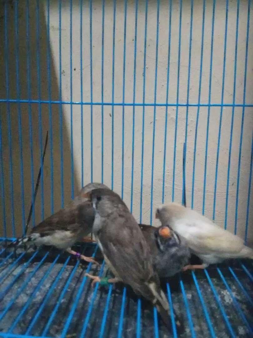 Burung Zebra Finch Hewan Peliharaan 762969139