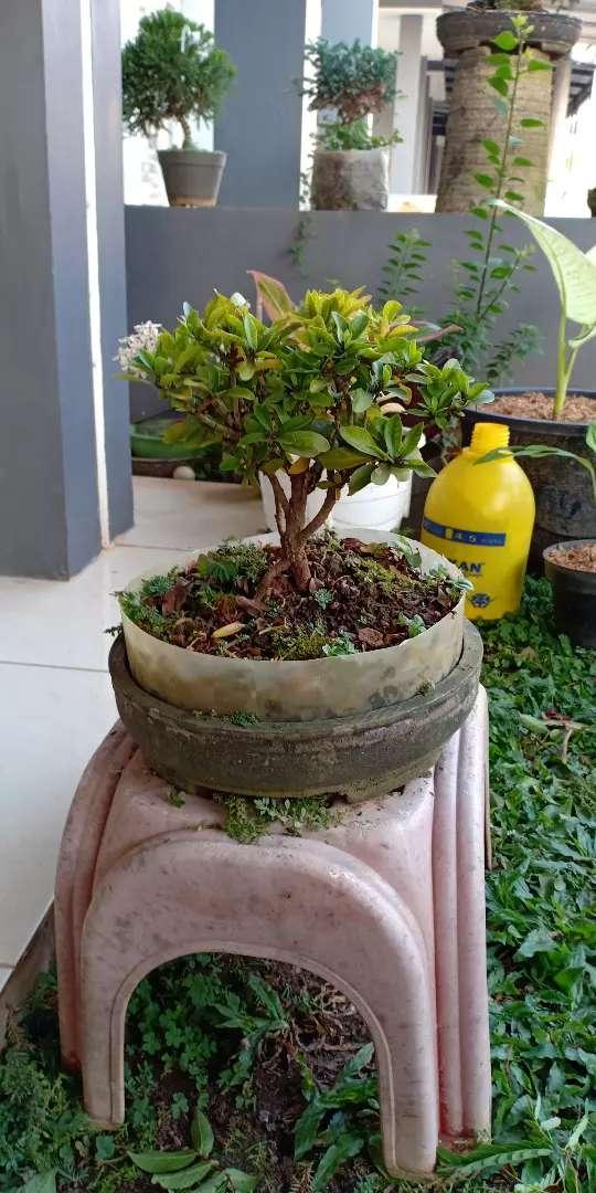 Bonsai Asoka Kuning Putih Dan Pink Konstruksi Dan Taman 794169820