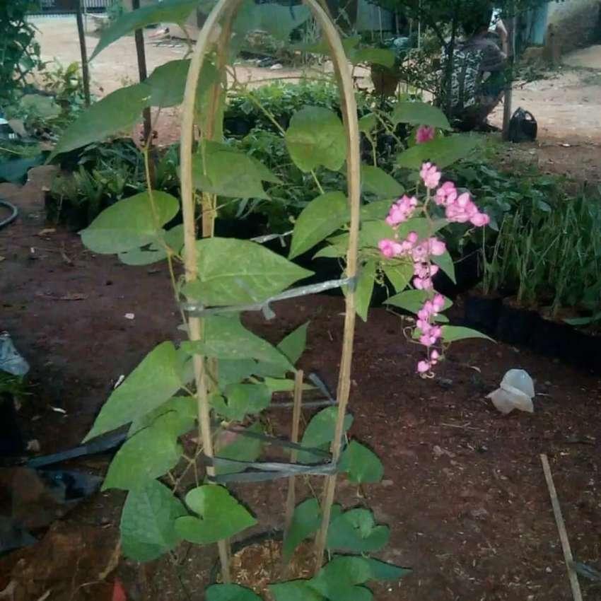 Bunga Pinki Air Mata Pengantin Jenis Rambat Konstruksi Dan