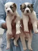 Alabaii king breed puppies