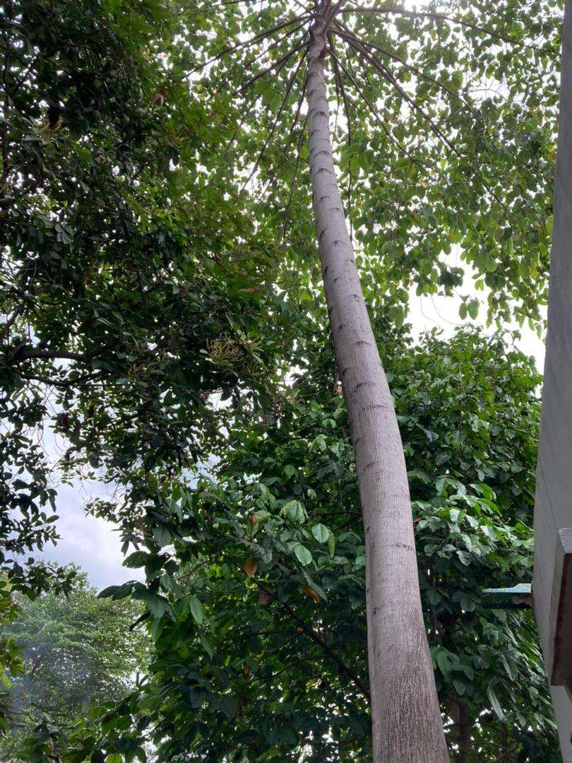Pohon Jati Belanda 15meter Lingkar 1 3m Lain Lain 804847523