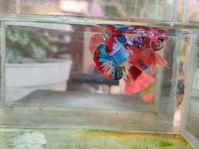 Ikan Cupang Nemo Multycolour Line Thailand Hewan Peliharaan 807160824