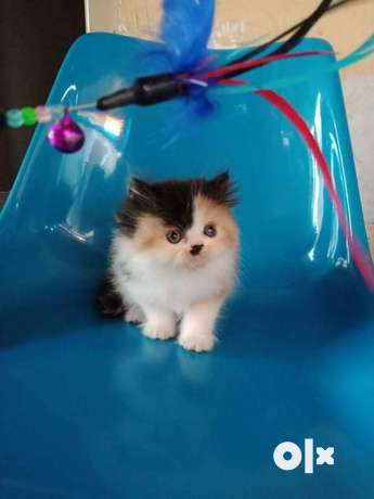 So So So So So Cute Persian Kitten For Sale Delhi Pets