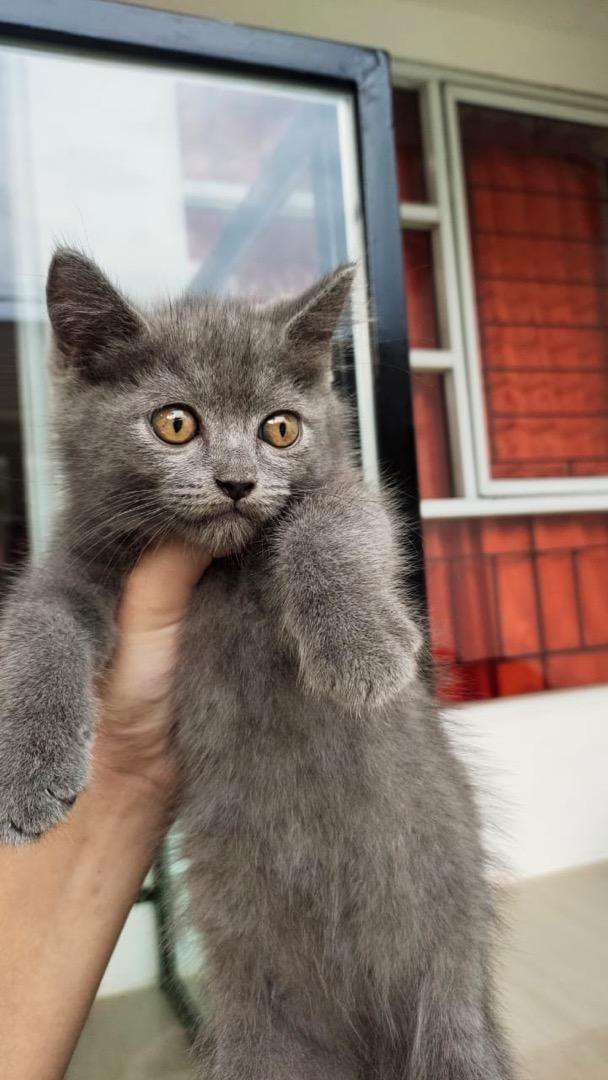Kucing British Shorthair Bsh British Short Hair Hewan Peliharaan 809857438