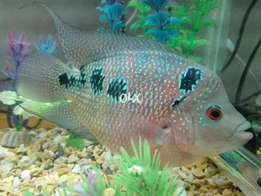 6 inches Female Kamfa Flowerhorn - (A) Grade Fish