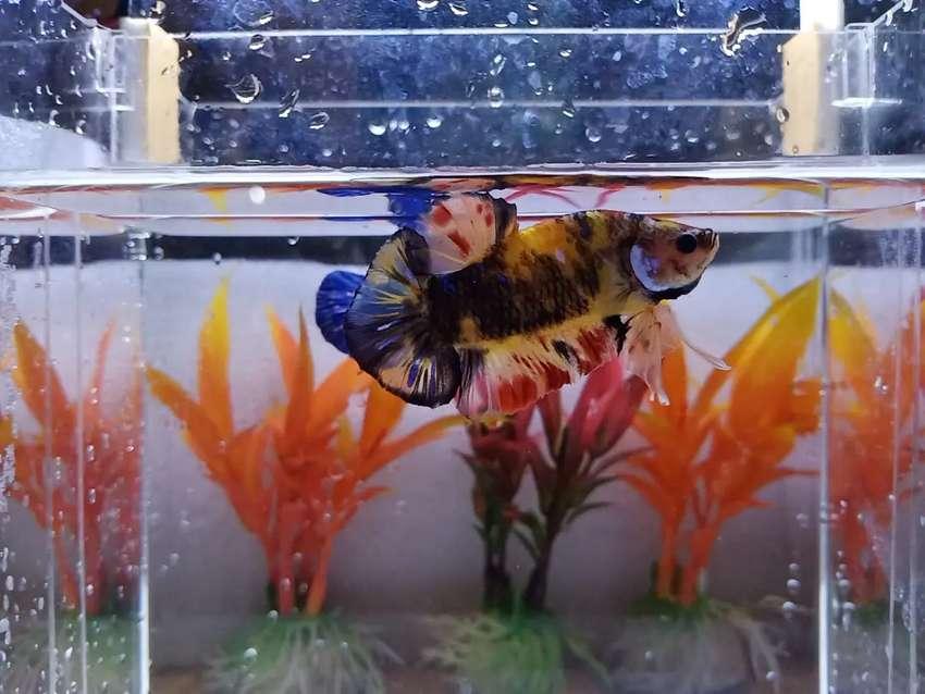 Ikan Cupang Nemo Yellow Base Hewan Peliharaan 808295836