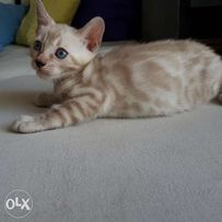 Abyssinian Cat Olx