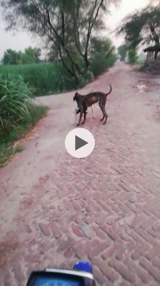 Bully - Dogs for sale in Punjab | OLX com pk