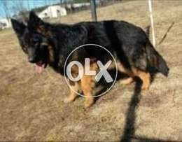Unique Beauty Extra Big Size Male Only 12 Months imported F/S