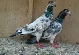 Kamger bredr pair for sale.