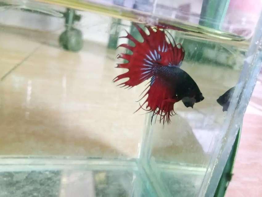 Ikan Cupang Crown Tail Hewan Peliharaan 807744769