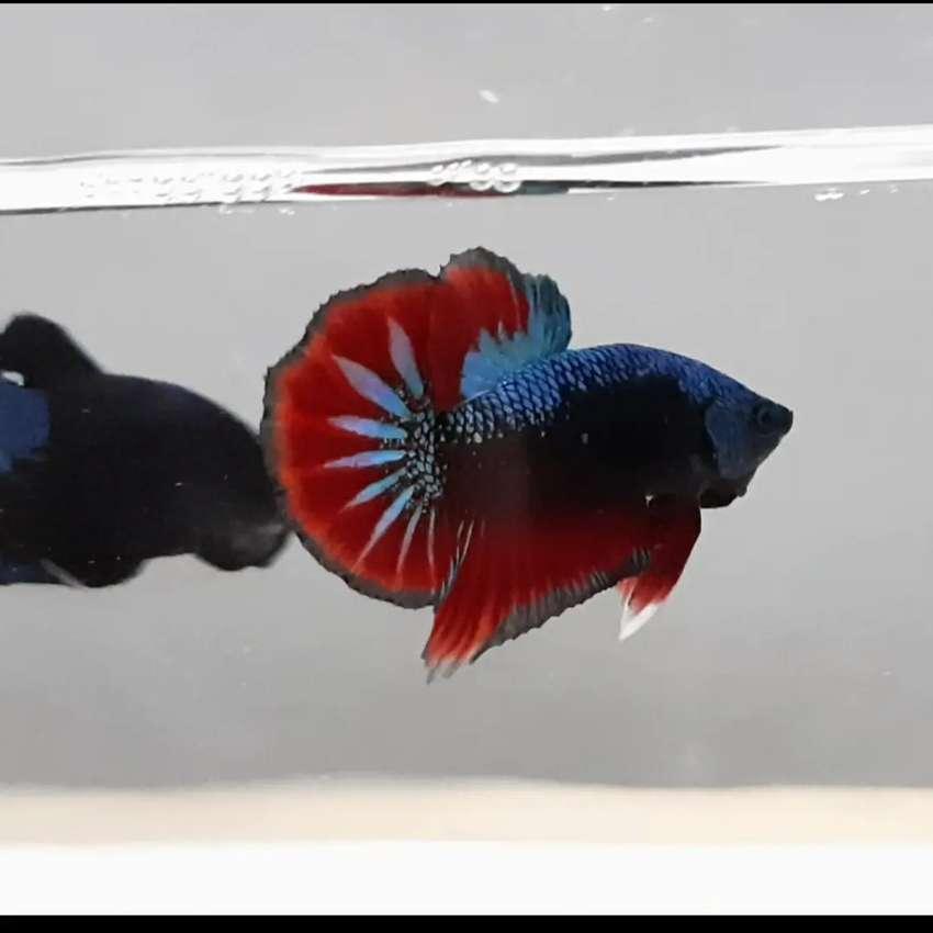 Ikan Cupang Avatar Vampire Hewan Peliharaan 805925781