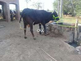 Sahiwal and fresian cross cow first timer