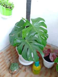 Giant Monstera +Pot tawon 27 (order wa