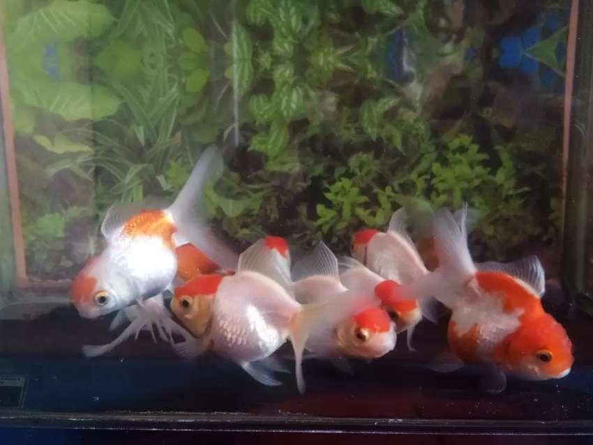Ikan Hias Mas Koki Koleksi Pribadi Luchu Dan Imoet Buat Aquarium Hewan Peliharaan 773127272