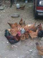 Active and healthy hen and cook