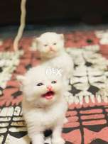 Pure persian kittens tripple coated