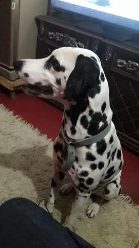 Free Classifieds Ads For Dalmatian In Pakistan