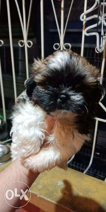 Pure Breed Shih Tzu Puppy With Free Soap And Cage In Pasig Metro