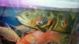 Black Oscar pair 11 inch healthy and active