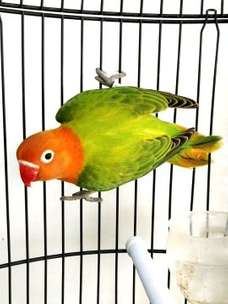 Burung Love bird lovebird Biola possible split blue Jantan DNA