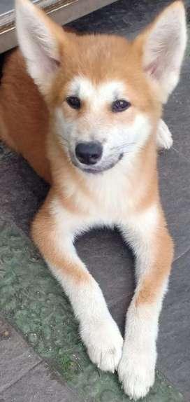 Anjing Ras Jual Hewan Peliharaan Terlengkap Di Jakarta Timur Olx Co Id