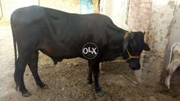 Black bull for eid